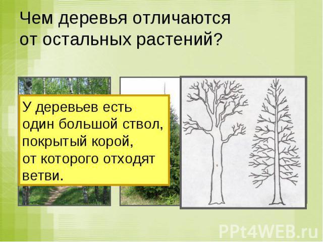 Чем деревья отличаются от остальных растений? У деревьев есть один большой ствол,покрытый корой, от которого отходят ветви.