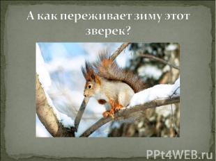 А как переживает зиму этот зверек?