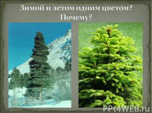 Зимой и летом одним цветом? Почему?