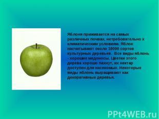 Яблоня приживается на самых различных почвах, нетребовательно к климатическим ус
