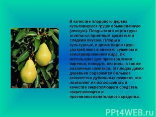 В качестве плодового дерева культивируют грушу обыкновенную (лесную). Плоды этог