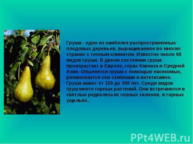 Груша - одно из наиболее распространенных плодовых деревьев, выращиваемое во многих странах с теплым климатом. Известно около 60 видов груши. В диком состоянии груша произрастает в Европе, горах Кавказа и Средней Азии. Опыляется груша с помощью насе…