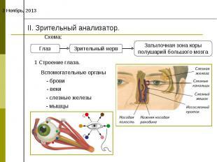 II. Зрительный анализатор.Схема:1 Строение глаза.Вспомогательные органы