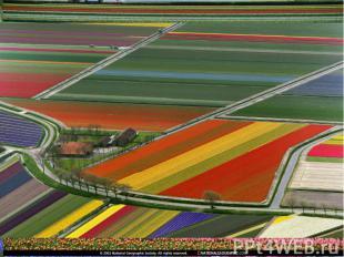 Голландия — европейская столица цветов, страна тюльпанов и гиацинтов.