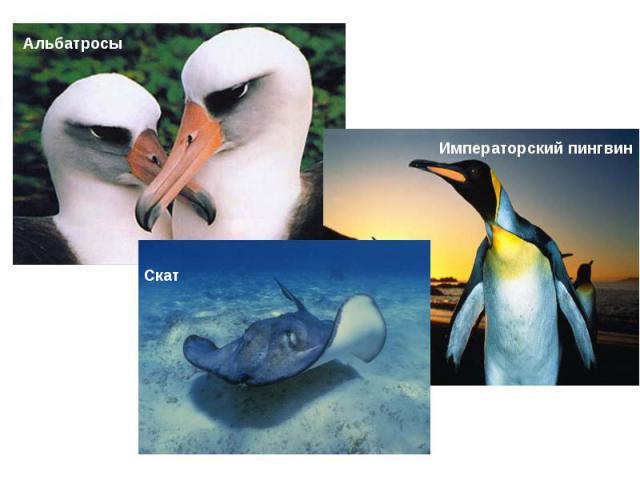 АльбатросыИмператорский пингвинСкат