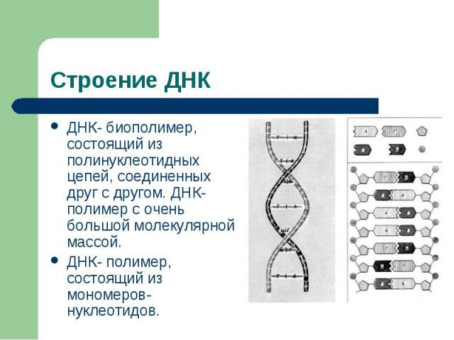 Строение ДНК ДНК- биополимер, состоящий из полинуклеотидных цепей, соединенных друг с другом. ДНК- полимер с очень большой молекулярной массой.ДНК- полимер, состоящий из мономеров- нуклеотидов.