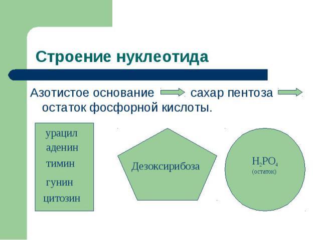 Строение нуклеотида Азотистое основание сахар пентоза остаток фосфорной кислоты.