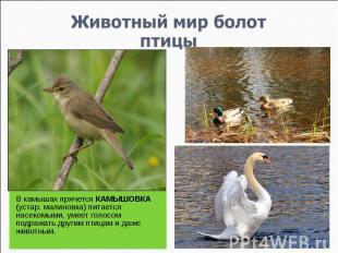 Животный мир болотптицы В камышах прячется КАМЫШОВКА (устар. малиновка) питается