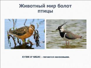 Животный мир болотптицы КУЛИК И ЧИБИС – питаются насекомыми.