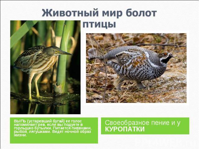 Животный мир болотптицы ВЫПЬ (устаревший бугай) ее голос напоминает рев, если вы подуете в горлышко бутылки. Питается пиявками, рыбой, лягушками. Ведет ночной образ жизни.Своеобразное пение и у КУРОПАТКИ
