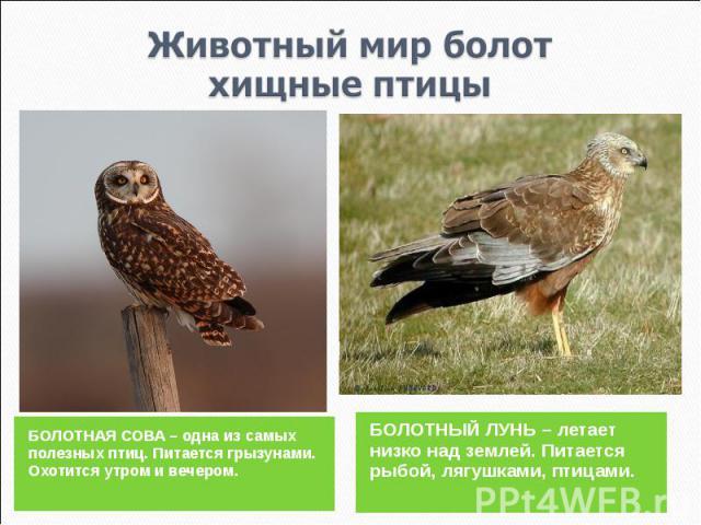 Животный мир болотхищные птицы БОЛОТНАЯ СОВА – одна из самых полезных птиц. Питается грызунами. Охотится утром и вечером.БОЛОТНЫЙ ЛУНЬ – летает низко над землей. Питается рыбой, лягушками, птицами.