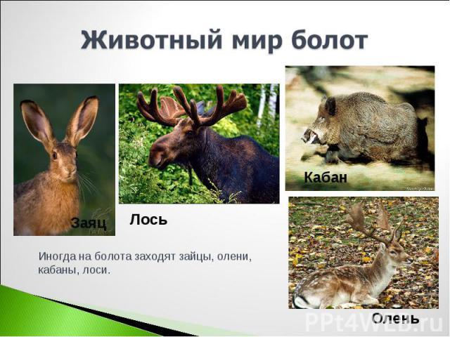 Животный мир болот Иногда на болота заходят зайцы, олени, кабаны, лоси.