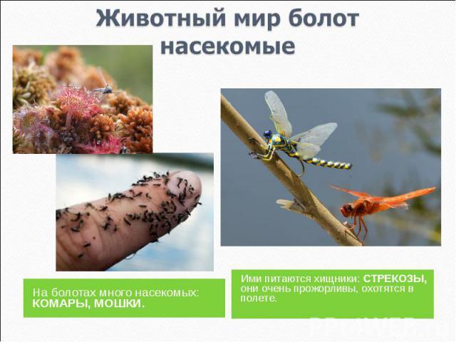 Животный мир болотнасекомые На болотах много насекомых: КОМАРЫ, МОШКИ.Ими питаются хищники: СТРЕКОЗЫ, они очень прожорливы, охотятся в полете.