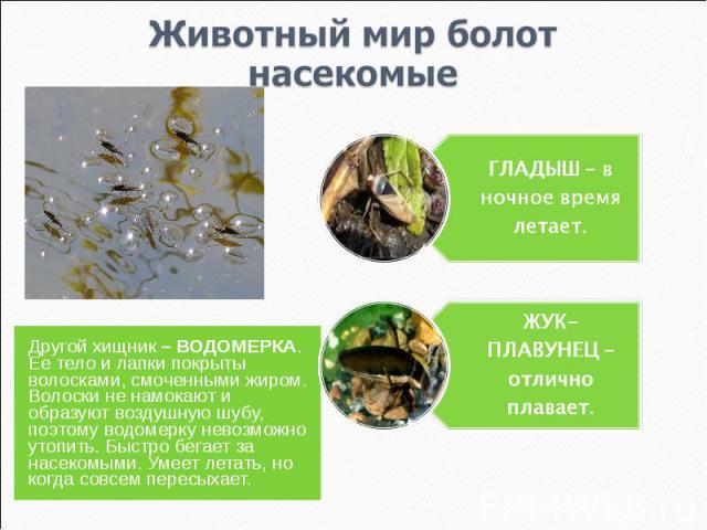 Животный мир болотнасекомые ГЛАДЫШ – в ночное время летает.ЖУК-ПЛАВУНЕЦ – отлично плавает.Другой хищник – ВОДОМЕРКА. Ее тело и лапки покрыты волосками, смоченными жиром. Волоски не намокают и образуют воздушную шубу, поэтому водомерку невозможно уто…