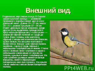 Внешний вид. Подвижная, вертлявая птица. В Европе самая крупная синица— размеро