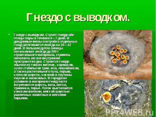 Гнездо с выводком. Гнездо с выводком. Строят гнездо обе птицы пары в течение 4—7
