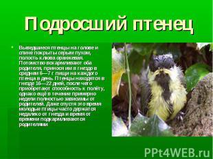 Подросший птенец Выведшиеся птенцы на голове и спине покрыты серым пухом, полост