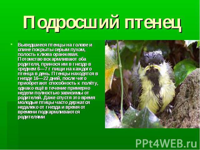 Подросший птенец Выведшиеся птенцы на голове и спине покрыты серым пухом, полость клюва оранжевая. Потомство вскармливают оба родителя, принося им в гнездо в среднем 6—7 г пищи на каждого птенца в день. Птенцы находятся в гнезде 16—22 дней, после че…
