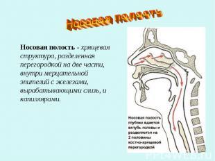 Носовая полостьНосовая полость - хрящевая структура, разделенная перегородкой на