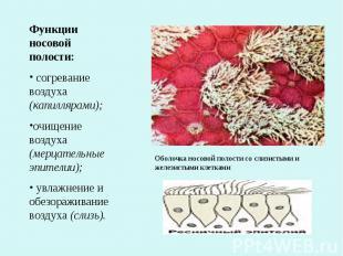 Функции носовой полости: согревание воздуха (капиллярами);очищение воздуха (мерц