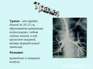 Трахея Трахея - это трубка длиной до 20-25 см, образованная хрящевыми полукольца