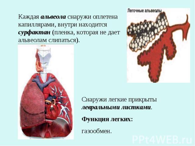 Каждая альвеола снаружи оплетена капиллярами, внутри находится сурфактан (пленка, которая не дает альвеолам слипаться).Снаружи легкие прикрыты левральными листками.Функция легких:газообмен.