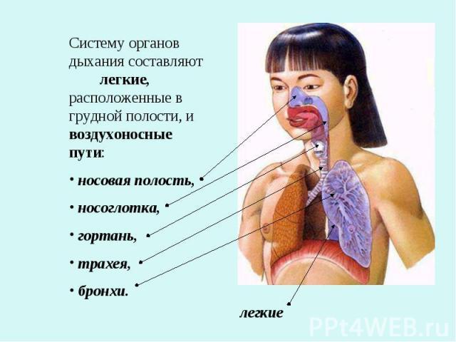 Систему органов дыхания составляют легкие, расположенные в грудной полости, и воздухоносные пути: носовая полость, носоглотка, гортань, трахея, бронхи.