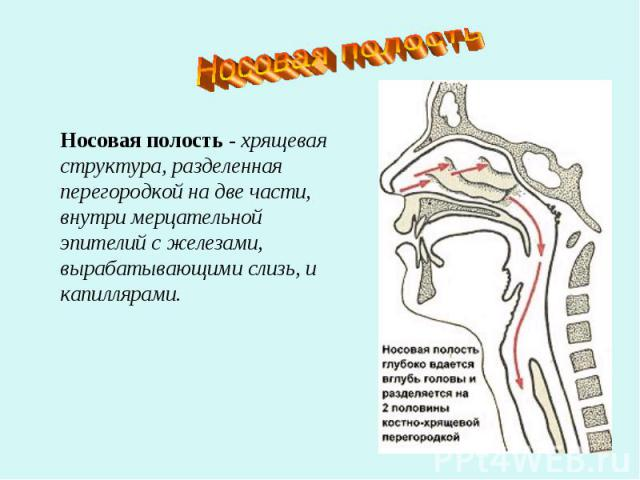 Носовая полостьНосовая полость - хрящевая структура, разделенная перегородкой на две части, внутри мерцательной эпителий с железами, вырабатывающими слизь, и капиллярами.