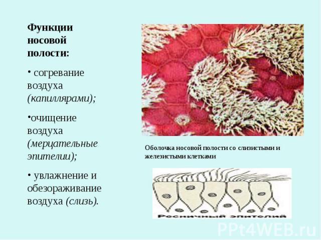 Функции носовой полости: согревание воздуха (капиллярами);очищение воздуха (мерцательные эпителии); увлажнение и обезораживание воздуха (слизь).Оболочка носовой полости со слизистыми и железистыми клетками