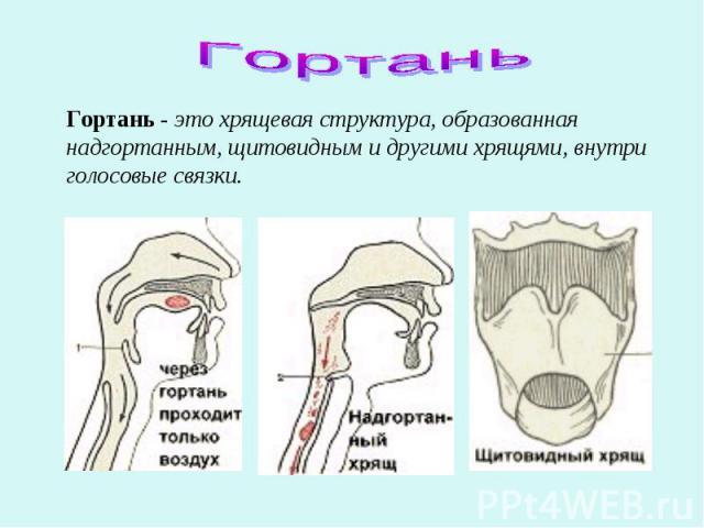 Гортань Гортань - это хрящевая структура, образованная надгортанным, щитовидным и другими хрящями, внутри голосовые связки.