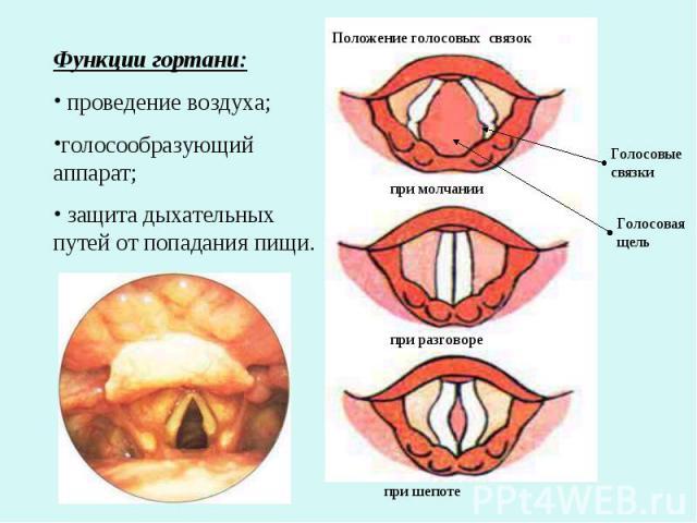 Функции гортани: проведение воздуха;голосообразующий аппарат; защита дыхательных путей от попадания пищи.