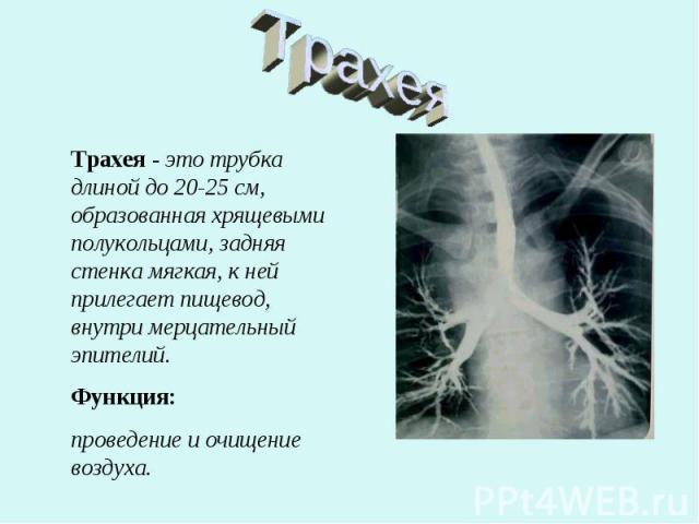 Трахея Трахея - это трубка длиной до 20-25 см, образованная хрящевыми полукольцами, задняя стенка мягкая, к ней прилегает пищевод, внутри мерцательный эпителий.Функция: проведение и очищение воздуха.