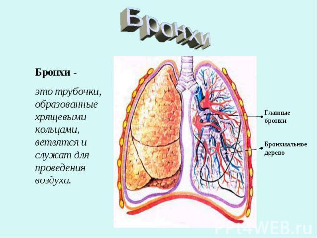 Бронхи Бронхи - это трубочки, образованные хрящевыми кольцами, ветвятся и служат для проведения воздуха.