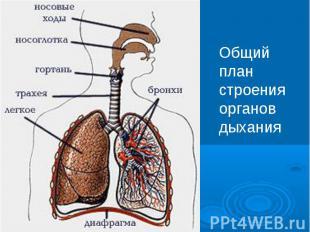 Общий план строения органов дыхания