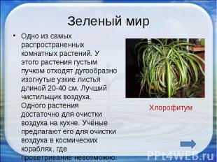 Зеленый мир Одно из самых распространенных комнатных растений. У этого растения