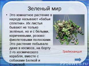 Зеленый мир Это комнатное растение в народе называют «бабьи сплетни». Их листья