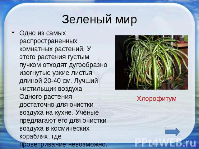 Зеленый мир Одно из самых распространенных комнатных растений. У этого растения густым пучком отходят дугообразно изогнутые узкие листья длиной 20-40 см. Лучший чистильщик воздуха. Одного растения достаточно для очистки воздуха на кухне. Учёные пред…