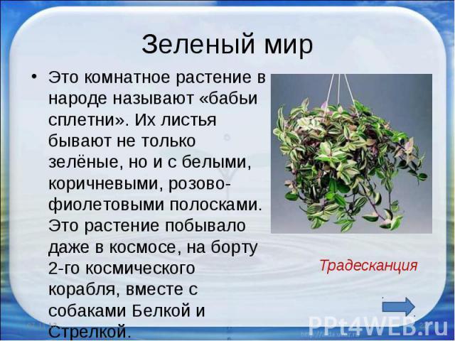Зеленый мир Это комнатное растение в народе называют «бабьи сплетни». Их листья бывают не только зелёные, но и с белыми, коричневыми, розово-фиолетовыми полосками. Это растение побывало даже в космосе, на борту 2-го космического корабля, вместе с со…