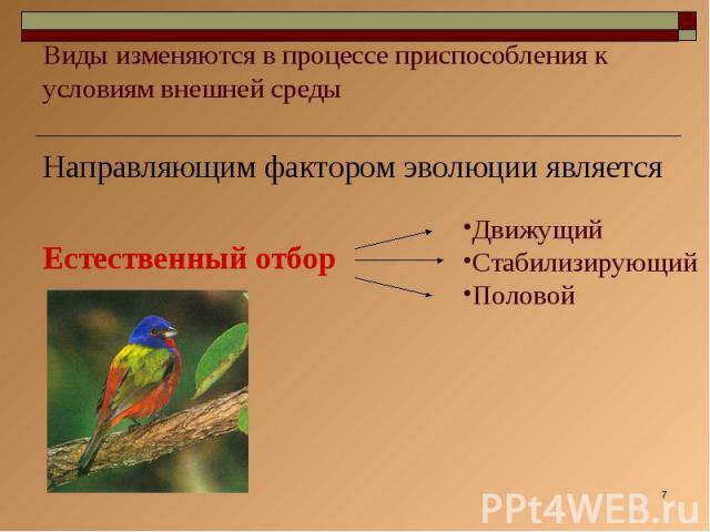 Виды изменяются в процессе приспособления к условиям внешней среды Направляющим фактором эволюции являетсяЕстественный отборДвижущийСтабилизирующийПоловой