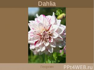 Dahlia Георгин