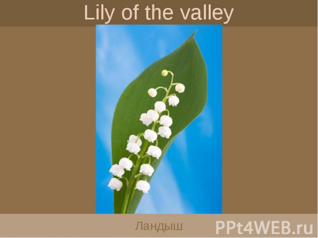 Lily of the valley Ландыш
