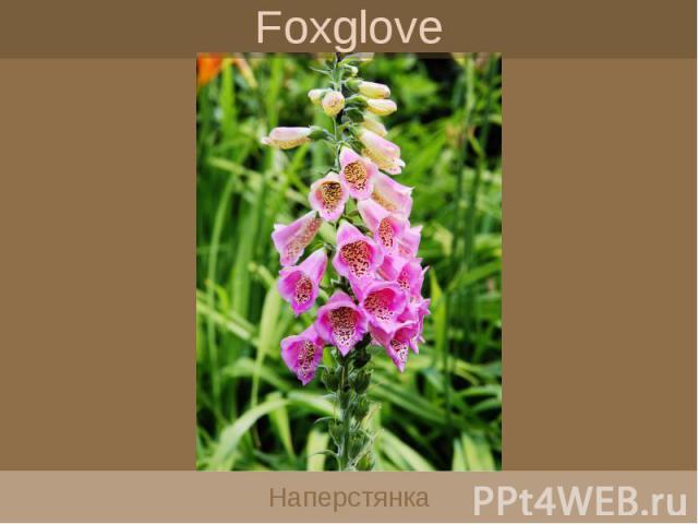 Foxglove Наперстянка