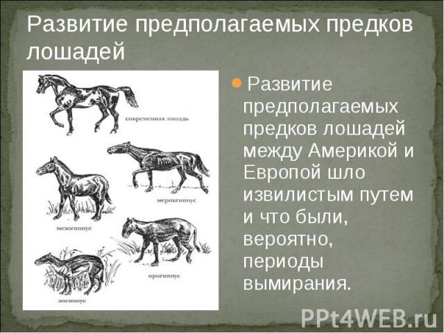 Развитие предполагаемых предков лошадей Развитие предполагаемых предков лошадей между Америкой и Европой шло извилистым путем и что были, вероятно, периоды вымирания.