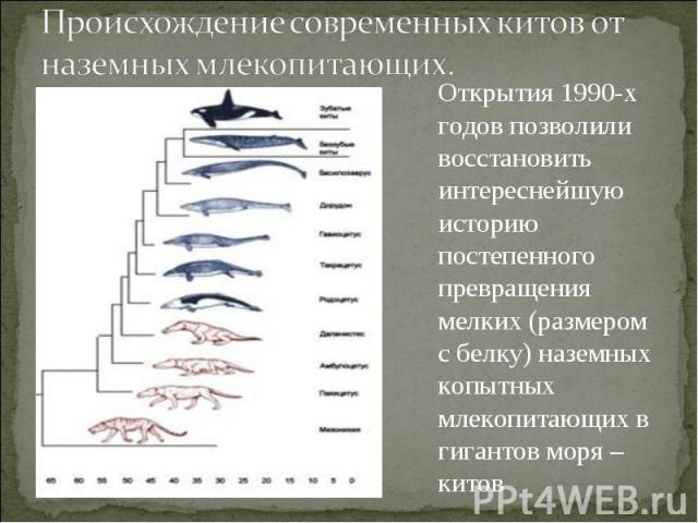 Происхождение современных китов от наземных млекопитающих. Открытия 1990-х годов позволили восстановить интереснейшую историю постепенного превращения мелких (размером с белку) наземных копытных млекопитающих в гигантов моря – китов
