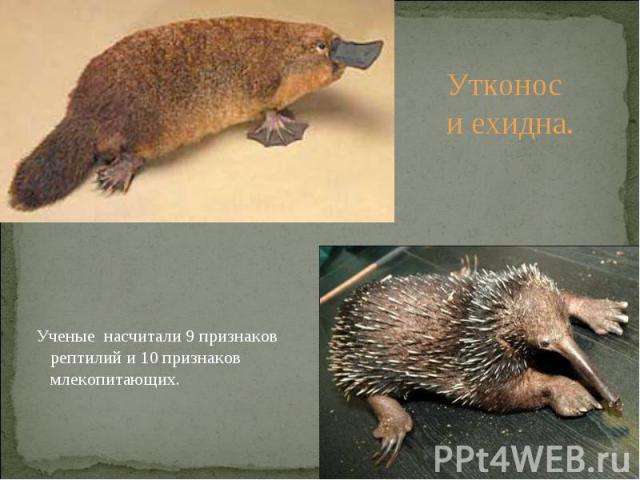 Утконос и ехидна. Ученые насчитали 9 признаков рептилий и 10 признаков млекопитающих.