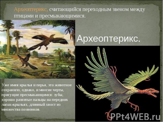 Археоптерикс, считающийся переходным звеном между птицами и пресмыкающимися.Археоптерикс.Уже имея крылья и перья, это животное сохранило, однако, и многие черты, присущие пресмыкающимся: зубы, хорошо развитые пальцы на передних лапах-крыльях, длинны…