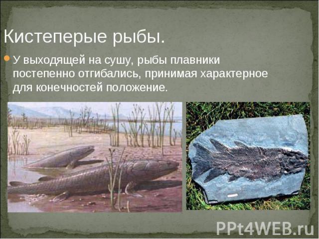 Кистеперые рыбы. У выходящей на сушу, рыбы плавники постепенно отгибались, принимая характерное для конечностей положение.