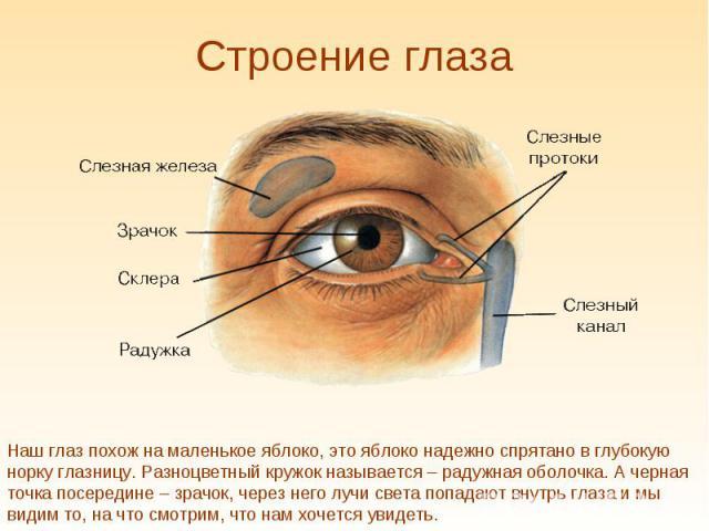 Строение глаза Наш глаз похож на маленькое яблоко, это яблоко надежно спрятано в глубокую норку глазницу. Разноцветный кружок называется – радужная оболочка. А черная точка посередине – зрачок, через него лучи света попадают внутрь глаза и мы видим …