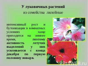 У луковичных растений из семейства лилейные интенсивный рост и бутонизация в ком