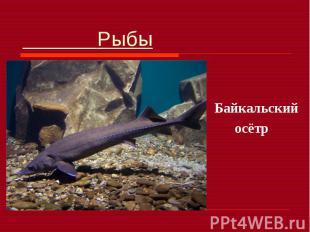 Рыбы Байкальский осётр